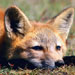 FoxArt08